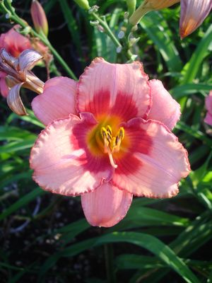 Hemerocallis x (Daylily, Mixed Varieties)