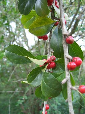 Ilex decidua (Holly, Possom Haw Yaupon)