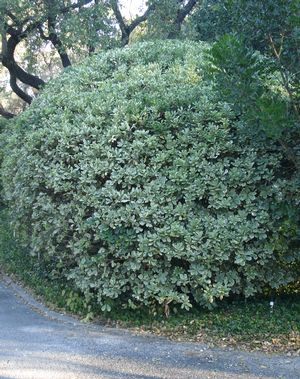 Pittosporum tobira (Pittosporum, Variegated)