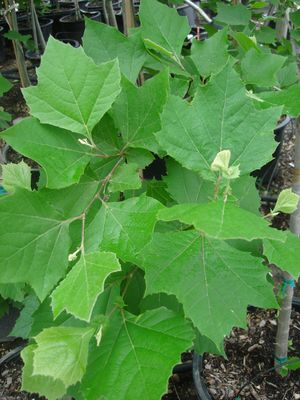 Platanus occidentalis (Sycamore, Mexican)