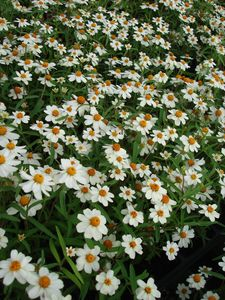 Melampodium leucanthum (Daisy, Black Foot)