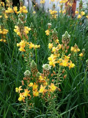 Bulbine frutescens (Bulbine)