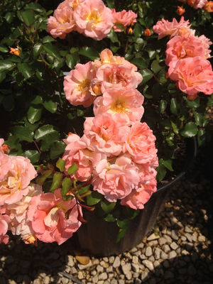 Rosa x (Rose, Peach Drift®)