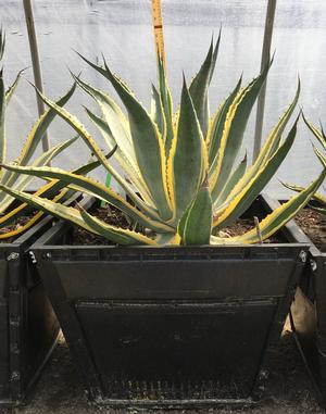 Agave americana (Agave, Variegated Century Plant)