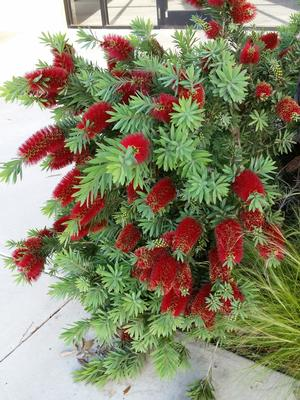 Callistemon citrinus (Bottlebrush, Dwarf)