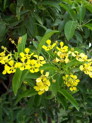 Mascagnia Macroptera Butterfly Vine From Mortellaros