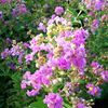 Crape Myrtle, Purple