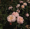 Rose, Apricot Drift ®