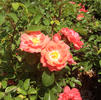 Rose, Coral Drift