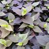 Black Heart Potato Vine