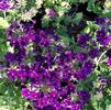 Verbena, Purple