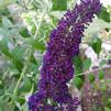 Butterfly Bush 'Nanho Purple'