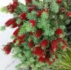 Bottlebrush, Dwarf