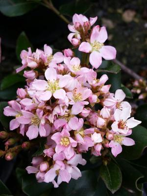 Raphiolepis indica (Hawthorn, Dwarf Pink)