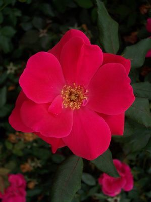 Rosa chinensis (Rose, Knock Out)