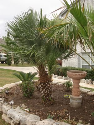 Chamaerops humilis (Palm, Mediterrarean Fan)