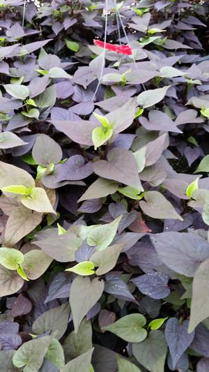 Ipomoea batatas (Sweet Potato, Black Heart)