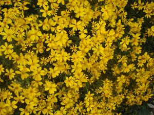 Tagetes lemmonii (Copper Canyon Daisy)